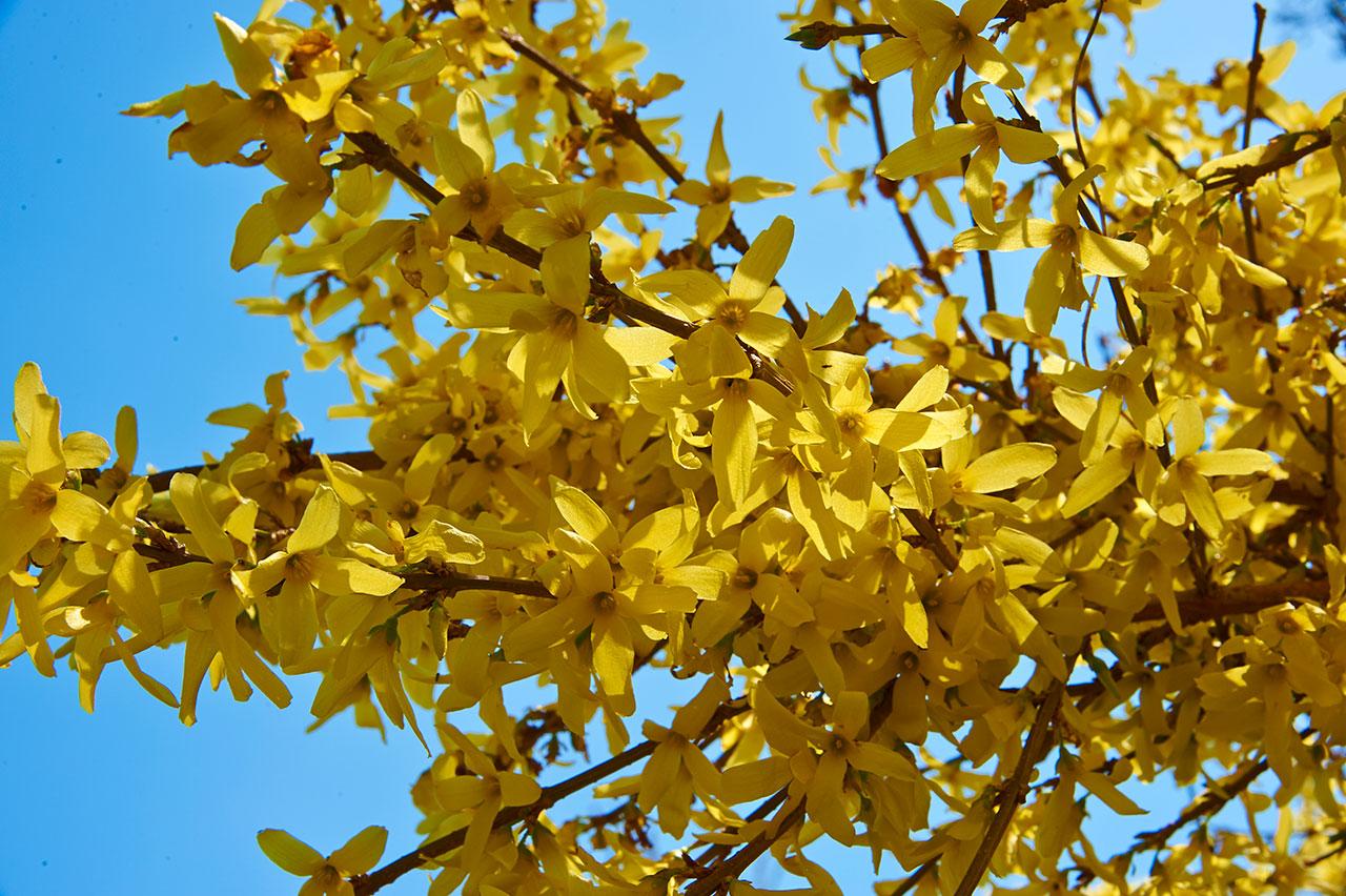 gelbblumen-DSC_4327