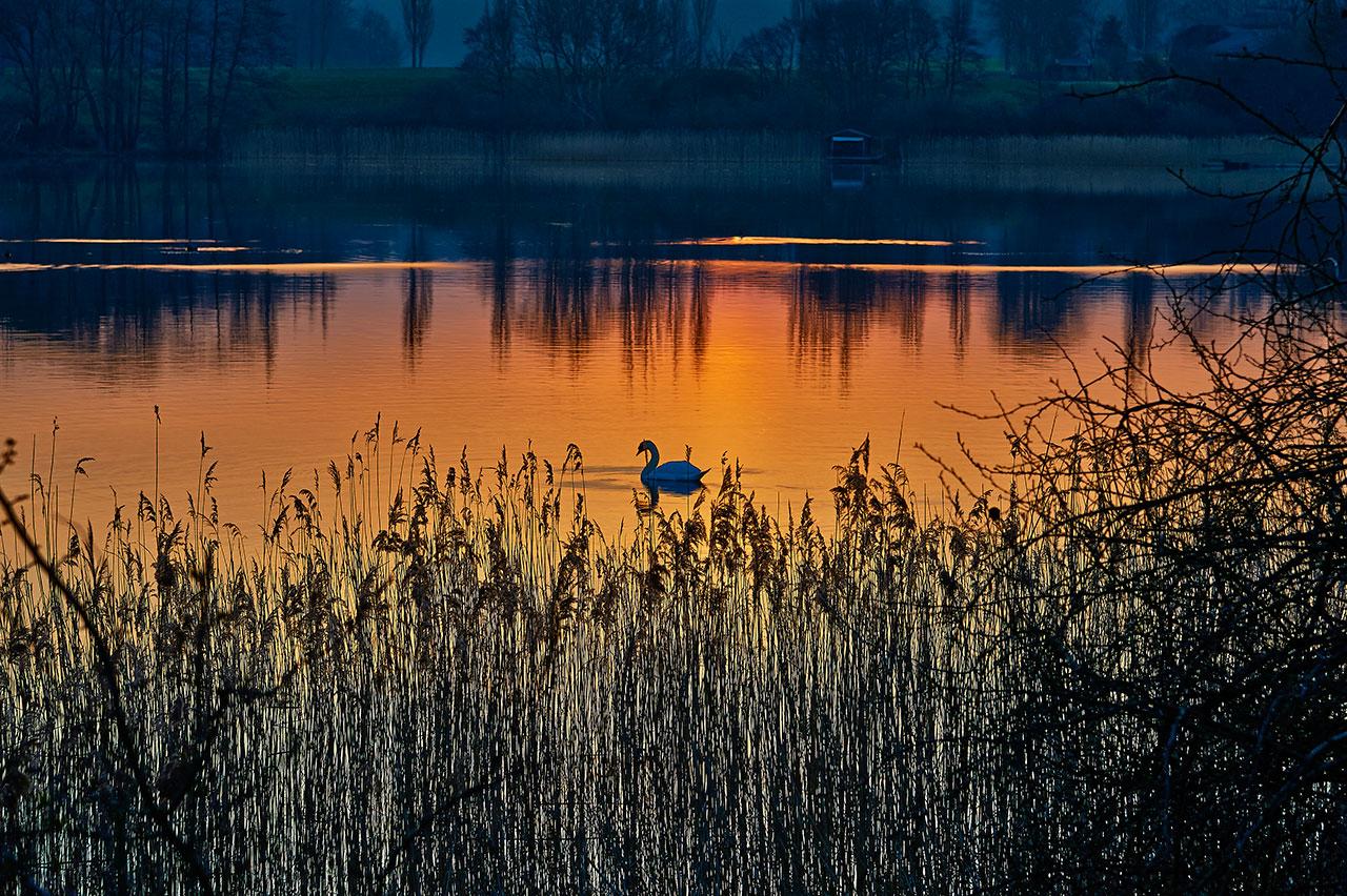 schwan-im-morgenrot-DSC_4289